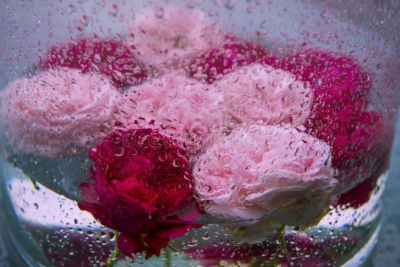 Pink and red roses in glass vase during heavy rainfall. Roses in glass with raindrops of sommer rain