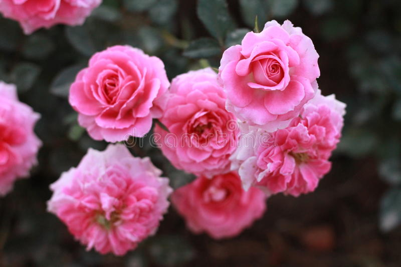 Pink Roses. A group of pink roses in the garden stock photo