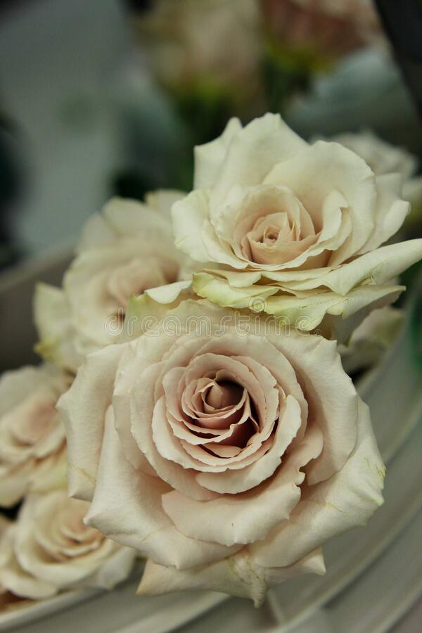 Roses ivory 8052 c. A cluster of classic ivory cream roses royalty free stock images