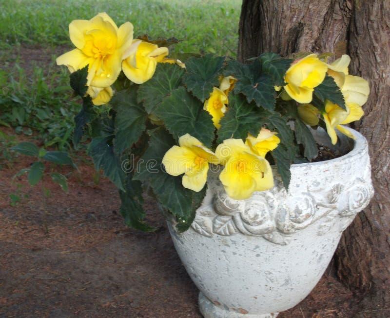 Roses jaunes dans un pot de fleur de grès photos libres de droits