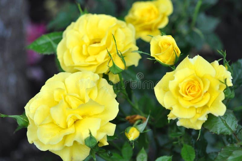 Roses jaunes extérieures, beaucoup de fleurs photo stock