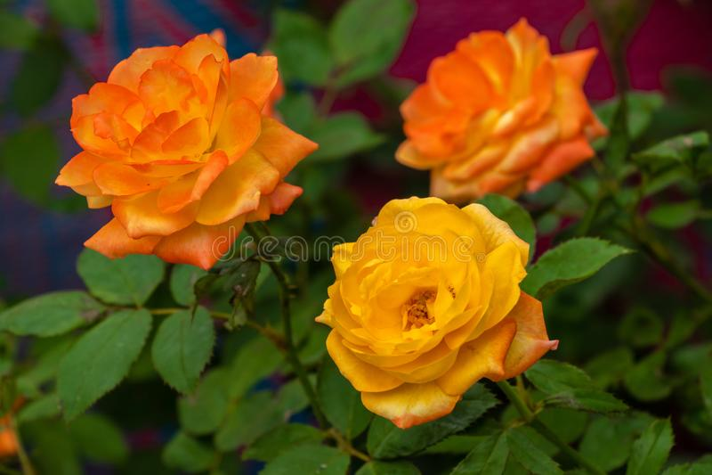 Roses roses jaunes fleurissant dans le jardin image libre de droits