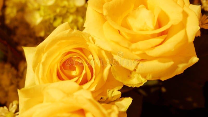Roses jaunes fraîches dans le jardin photos stock