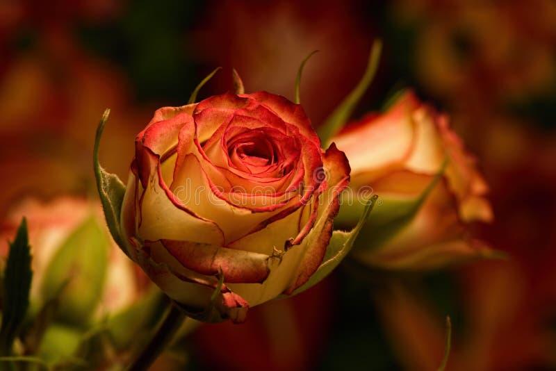 Roses jaunes rouges de jet photos stock