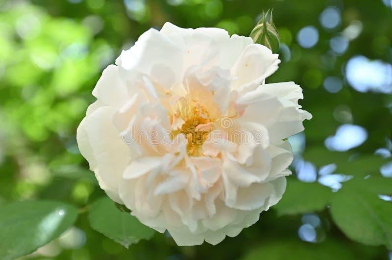Rosa Odorata.Rose fragrant tea royalty free stock photos