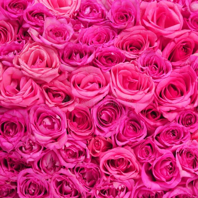 Roses. Le rose fleurit le fond photos libres de droits