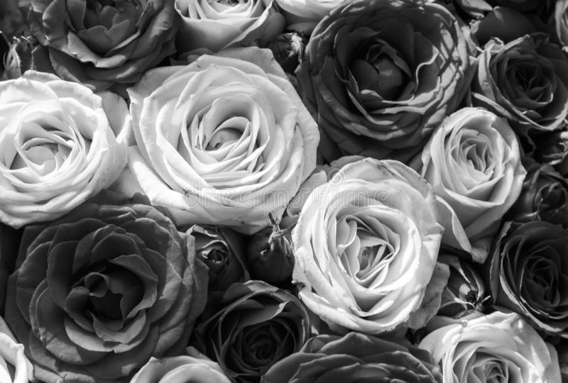 Roses like a background stock photography