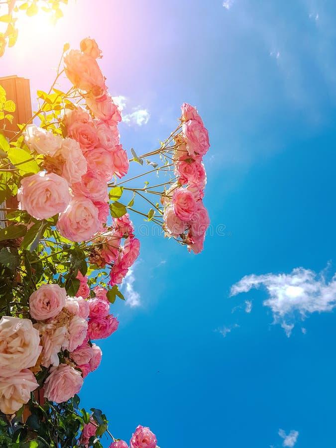 Roses many pink sky background spring. Season stock image