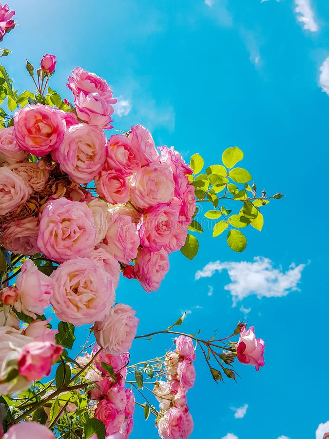 Roses many pink sky background spring. Season royalty free stock photography