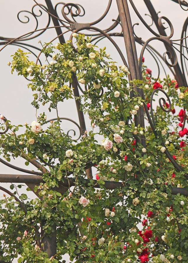 ROSES ON A METAL FRAME AGAINST A GREY SKY. View of roses on a climbing rose bush in a rose garden in summer supported by a metal frame royalty free stock photos