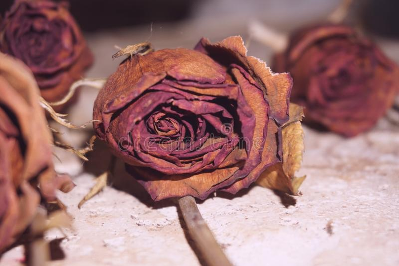 Roses mortes image stock