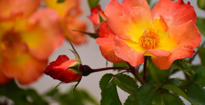 Roses oranges et jaunes en toutes les phases de croissance images stock