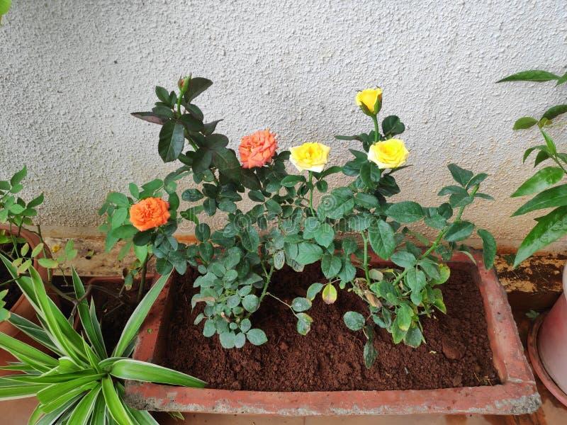 Roses oranges et jaunes image stock