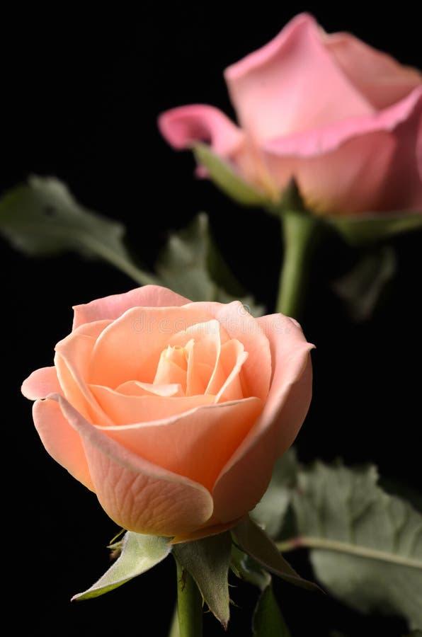 Roses oranges et roses sur le noir photographie stock