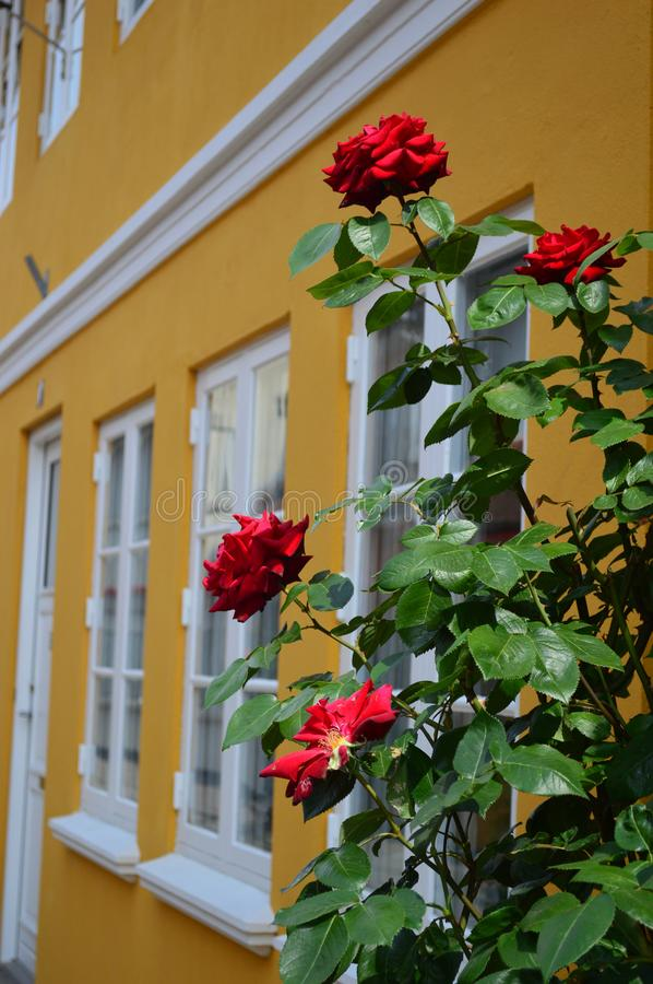 Roses outside a Typical Brightly coloured 17th century danish town house. In Odense - denmarks third largest city in South denmark on the island of funen or fyn stock image