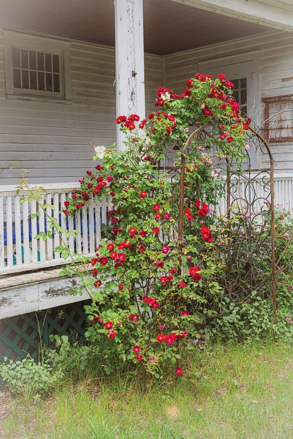 Roses på Trellis fotografering för bildbyråer