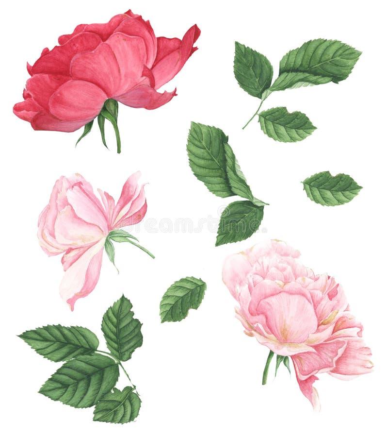 Roses, peinture d'aquarelle sur le fond blanc illustration stock