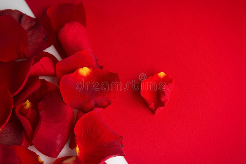 Download Roses Petals On A White Background With Red Place For Your Text Stock Photo - Image: 83716456