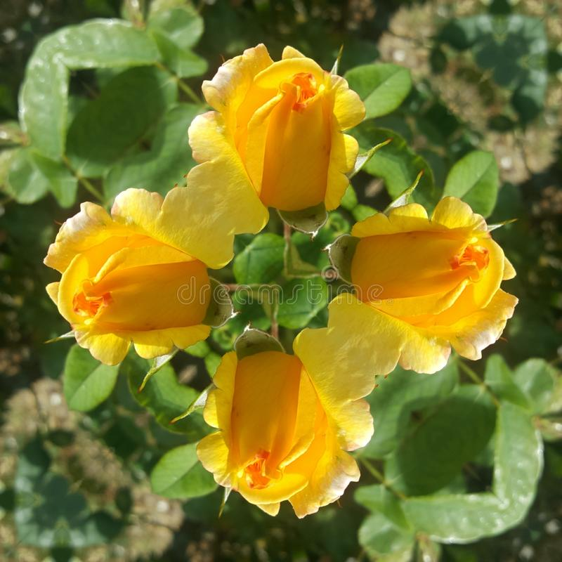 Roses photo art with yellow colors. Garden, photography stock photo