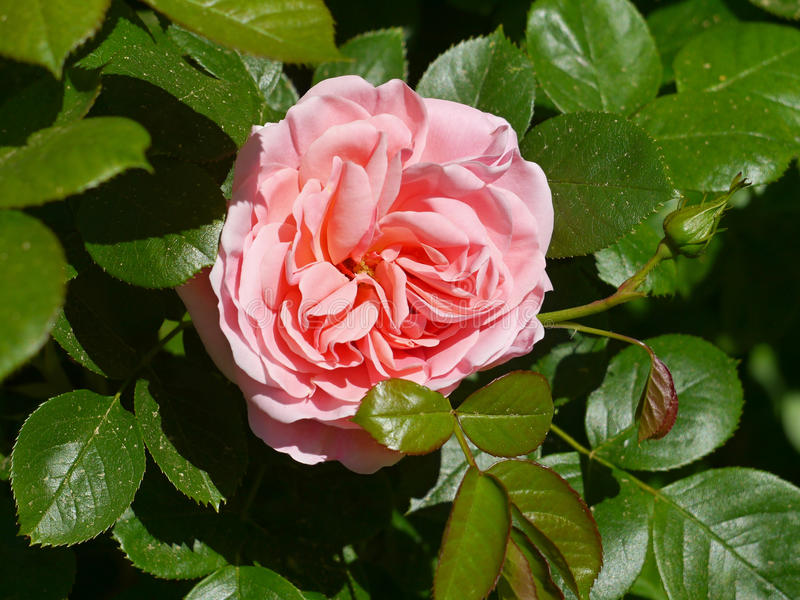 Download Roses stock photo. Image of inspiration, fresh, detail - 54232354
