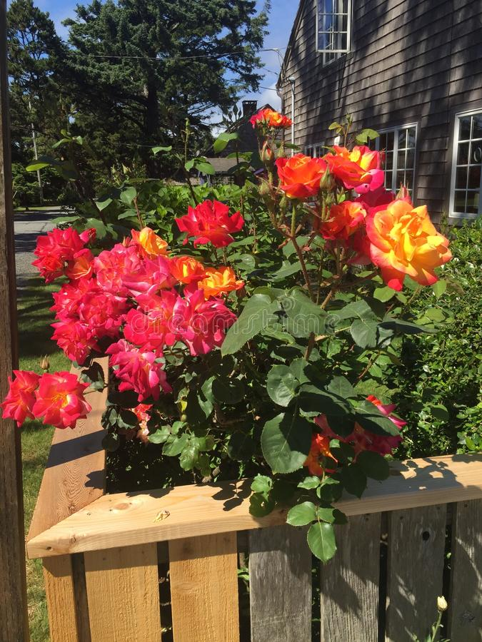 Roses in a planter. A wooden planter in a front yard filled with a rose plant covered in red, orange, pink, and yellow blooms stock image