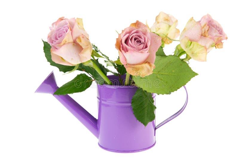 Roses pourprées dans le bidon d'arrosage photo stock