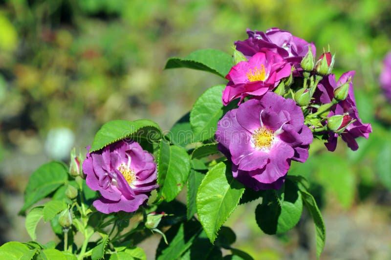 Roses pourpres de plage et x28 ; Rugosa& x29 de Rosa ; dans une floraison de jardinage photographie stock libre de droits