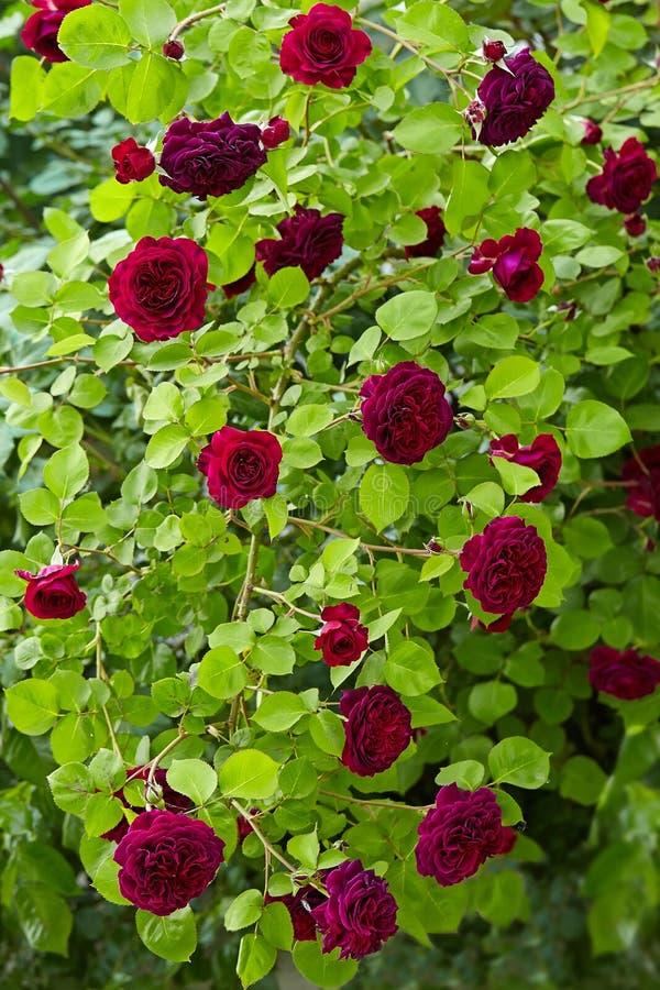 Roses pourpres sur le fond vert de feuillage photographie stock libre de droits