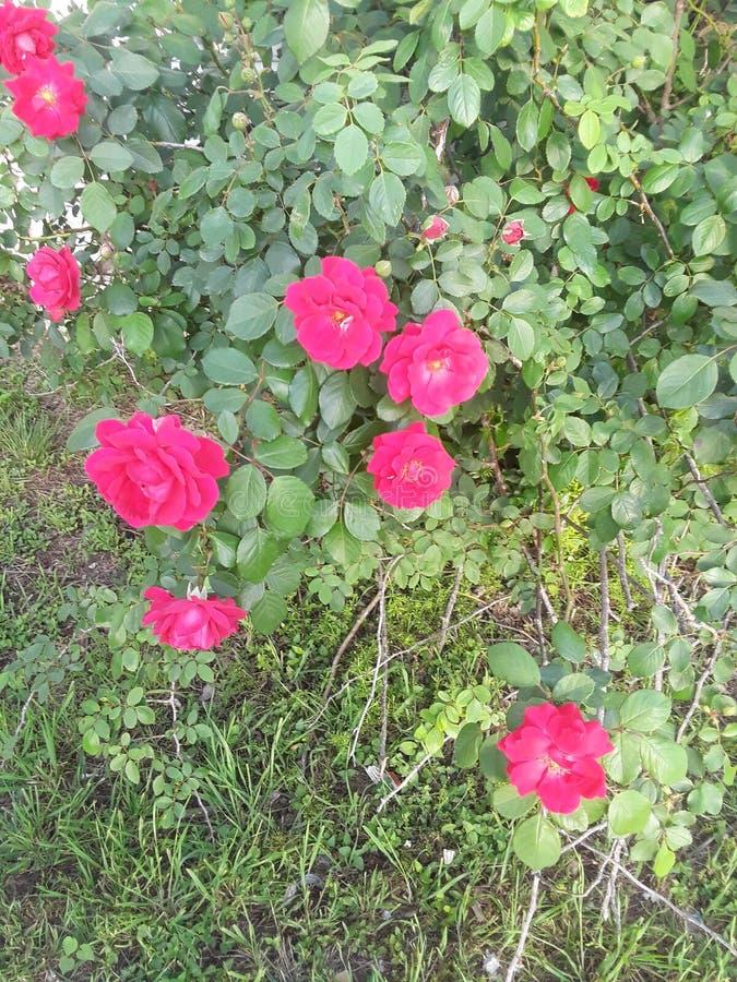 Roses précieuses photographie stock libre de droits