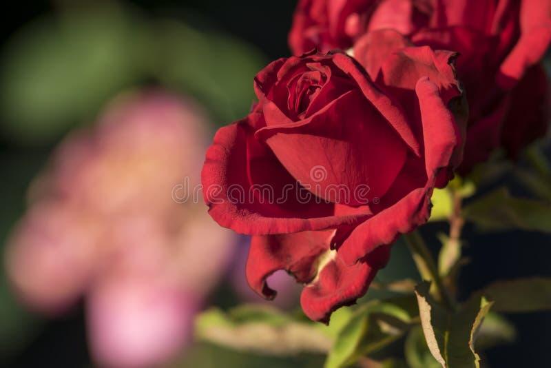 Roses, Prague ÄŒVUT images libres de droits