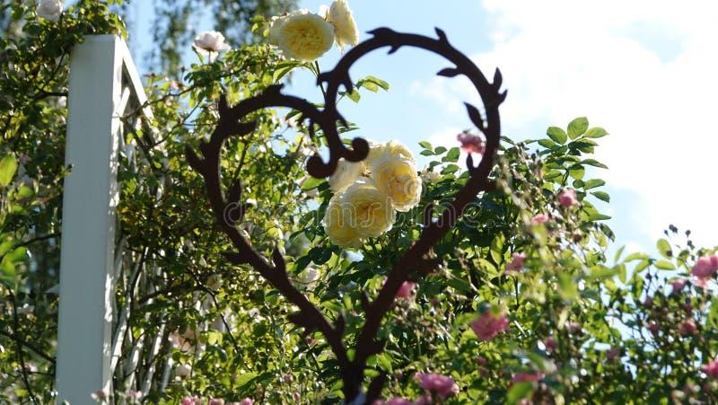 Roses qui sont focalisées par un coeur photographie stock libre de droits