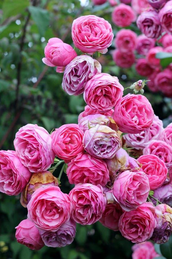 Roses rampantes de rose sauvage photos libres de droits