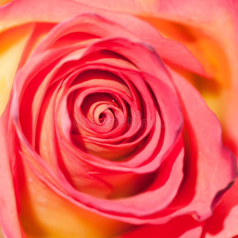 Download Roses Are Red stock photo. Image of macro, concentric - 28033862