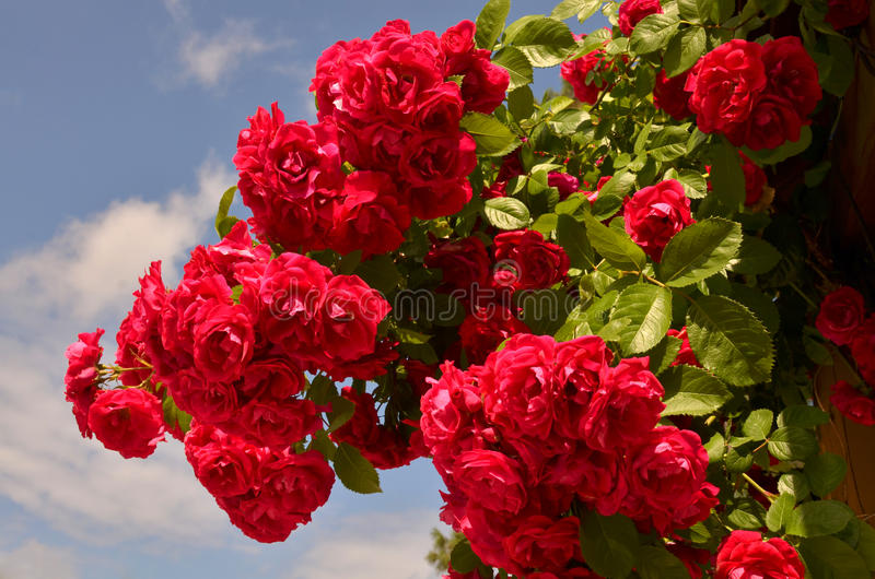 Download Roses Stock Images - Image: 32486874