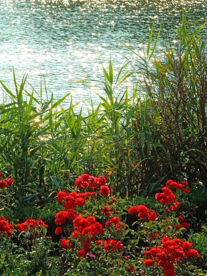 Roses by the river royalty free stock photo
