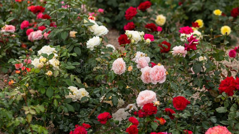 72 Roses Hd Photos - Free & Royalty-Free Stock Photos from Dreamstime