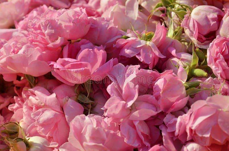 Roses for rose oil stock image