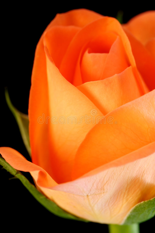 Download Roses roses photo stock. Image du rose, fleurs, romantique - 4350038