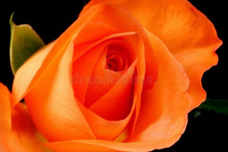 Download Roses roses photo stock. Image du refoulé, roses, fleuraison - 4350042