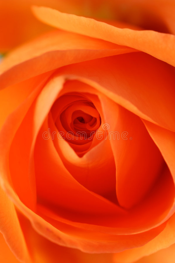 Download Roses roses photo stock. Image du fleurs, anglais, fleur - 4350048