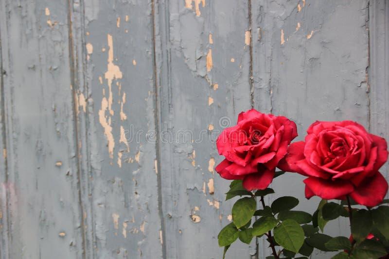 Roses roses contre un mur bleu chic photographie stock libre de droits
