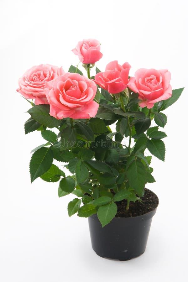 Roses roses dans le flowerpot photo libre de droits