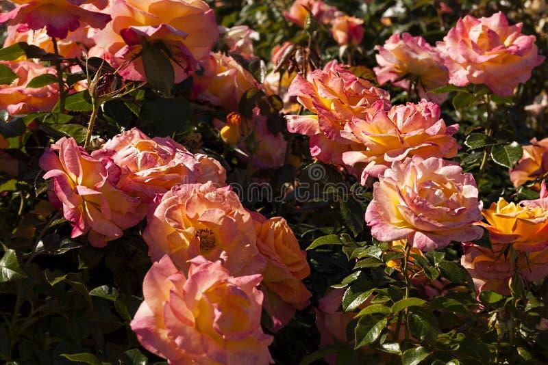 Roses roses et jaunes dans les buissons photo stock
