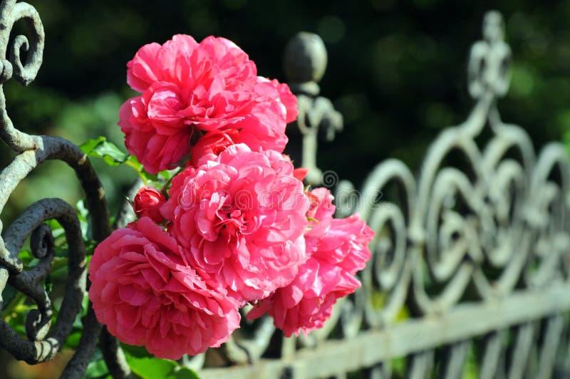 Roses roses fleurissant sur une barrière de jardin images stock