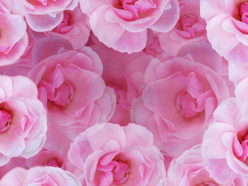 Roses roses molles photographie stock libre de droits