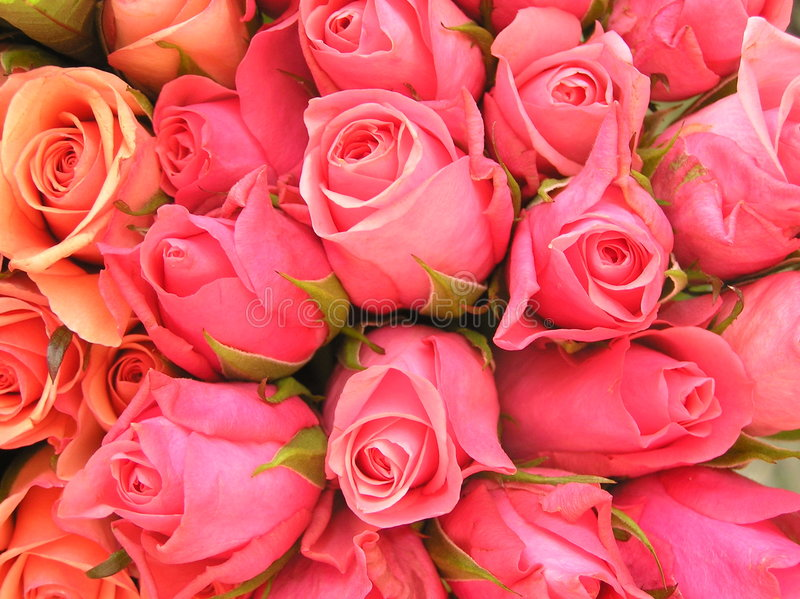 Roses roses romantiques photos libres de droits