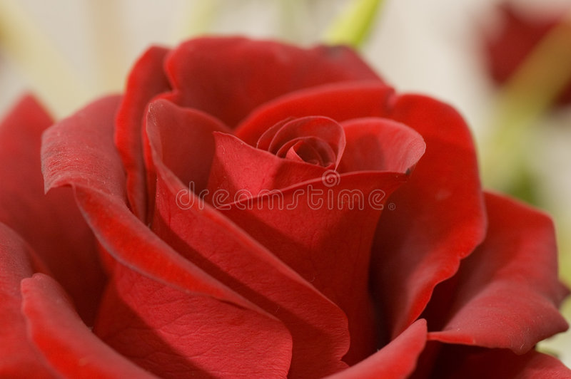 Roses rouges photo libre de droits