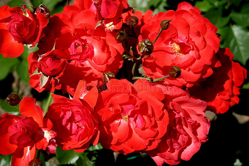 Roses rouges photos stock