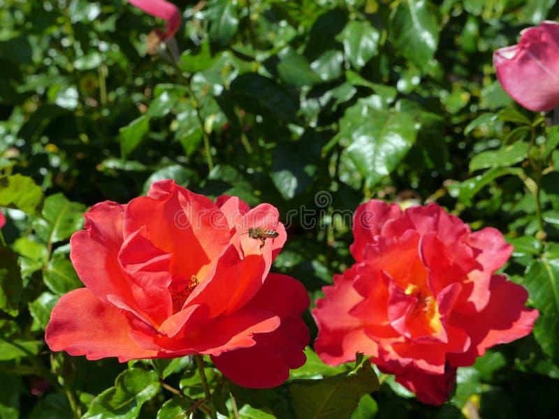 Roses rouges avec la moisson d'abeille photos libres de droits