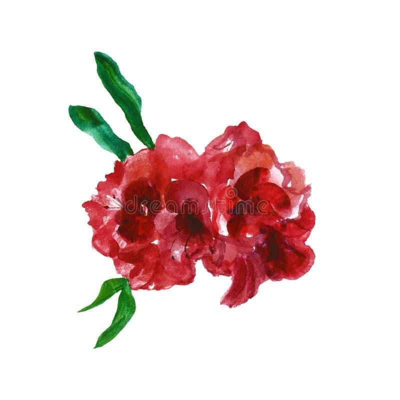 Roses rouges d'aquarelle, d'isolement sur le fond blanc Fleurs anglaises rouge-foncé colorées de jardin illustration libre de droits